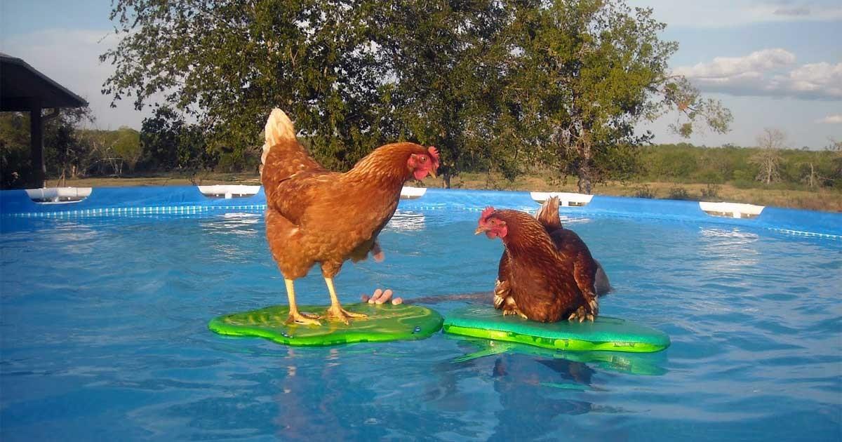 Nigelsimpsonuk 39 s nuzzel newsletter for Swimming chicken